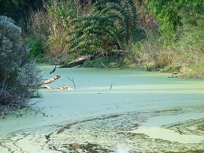 Pinelands Art Photograph - Heron On A Limb by Florene Welebny