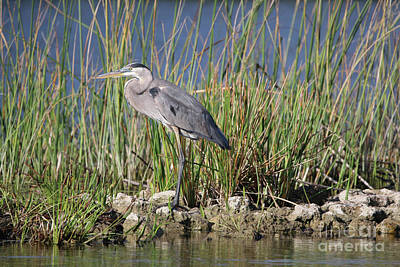 Photograph - Heron On Rocky Perch by Tom Claud