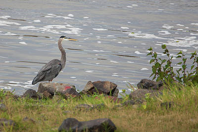 Its A Piece Of Cake - Heron on the Rocks by Ronnie Maum