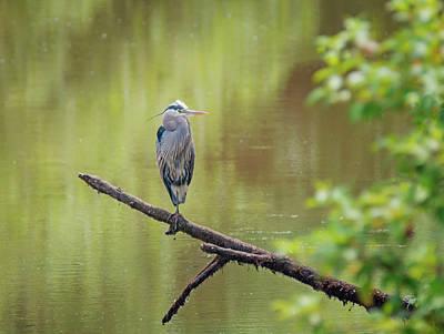 Heron Over Water Art Print