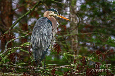 Photograph - Heron Perched In Tree #1 by Tom Claud