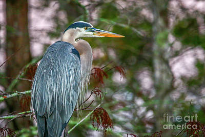 Photograph - Heron Perched In Tree #2 by Tom Claud