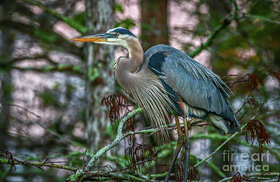 Photograph - Heron Perched In Tree #4 by Tom Claud