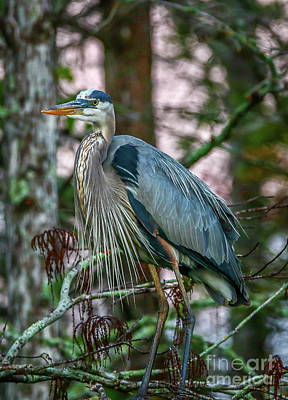 Photograph - Heron Perched In Tree #5 by Tom Claud