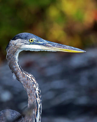 Photograph - Heron Portrait by Alan Raasch