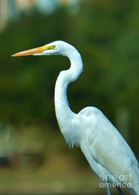 Photograph - Heron Portrait by Bob Sample