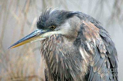 Photograph - Heron Portrait by Frank Townsley