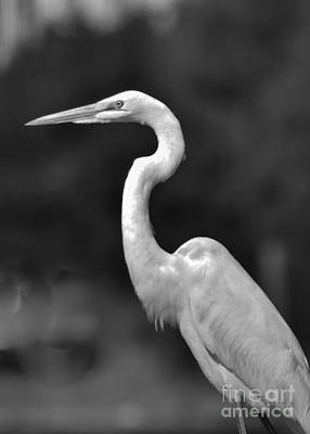 Photograph - Heron Portrait In Black And White by Bob Sample