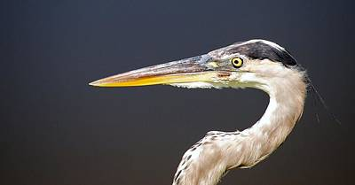 Photograph - Heron Profile by John Hintz