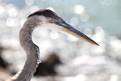 Photograph - Heron Searching by Jim Clark