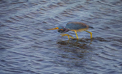 Photograph - Heron Sneak Attack by John M Bailey