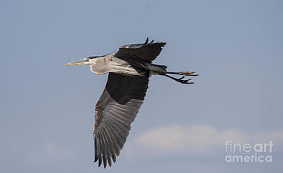 Farm House Style - Heron soaring in the skies by Ruth Jolly