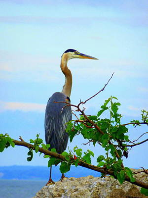 Photograph - Heron Standing And Looking  by Beth Akerman