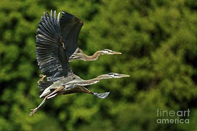 Painting - Heron Take Flight by Sue Harper