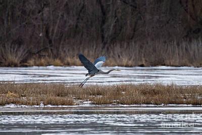 Photograph - Heron Take Off by Jennifer White