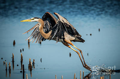 Photograph - Heron Take Off by Joann Long