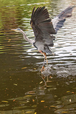 Photograph - Heron Takeoff by Keith Boone
