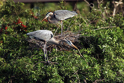 Photograph - Heron Team Building by David Yunker