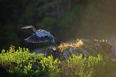 Photograph - Heron Trailing Water Drops by Keith Boone