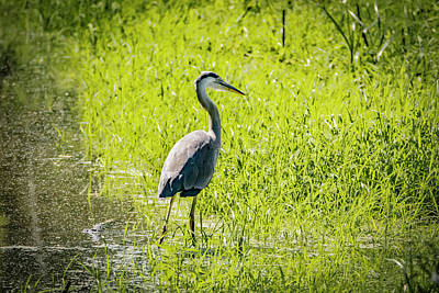 Photograph - Heron Wading by Ray Congrove