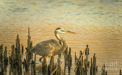 Photograph - Heron Wading by Robert Frederick