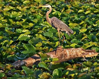 Pop Art Rights Managed Images - Heron Waiting Royalty-Free Image by Kent Taylor