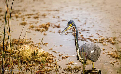 Photograph - Heron Walking by Les Greenwood