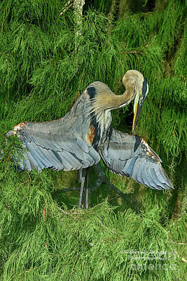 Photograph - Heron Wing Pose by Deborah Benoit