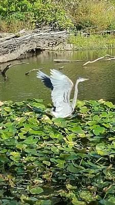 Heron Wings Art Print by Donna Cook