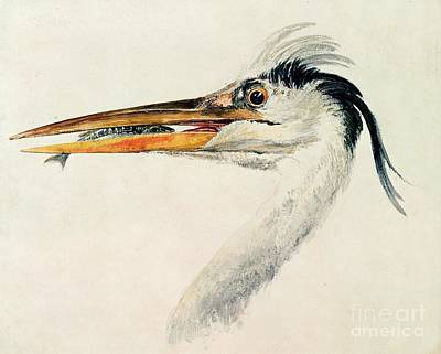 Head Drawing - Heron With A Fish by Joseph Mallord William Turner