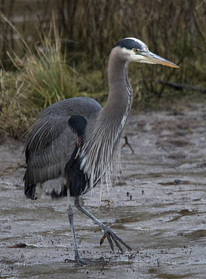 Photograph - Heron With An Attitude by Randy Hall