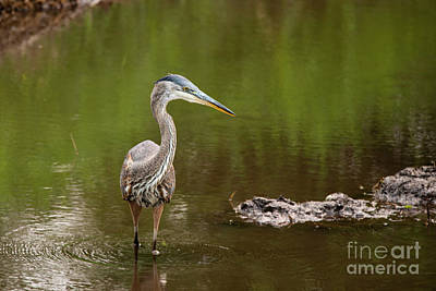 Photograph - Heron With Attitude by Rod Wiens