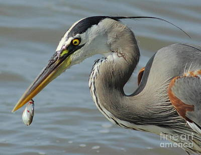D Wade Photograph - Heron With Injured Shad by Robert Frederick