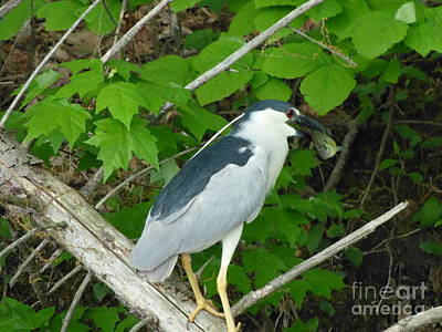 Art Print featuring the photograph Heron With Dinner by Donald C Morgan