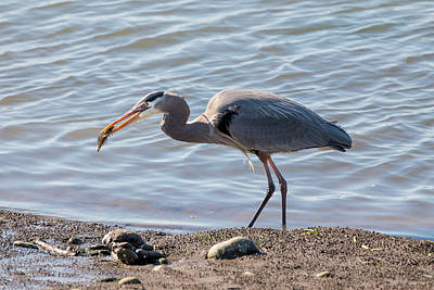 Photograph - Heron With Fish by Loree Johnson