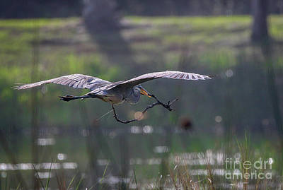 Photograph - Heron With Nesting Material by Tom Claud