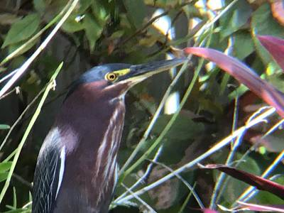 Photograph - Heron With Yellow Eyes by Val Oconnor