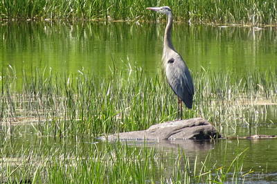 Photograph - Heron by Doug Norkum