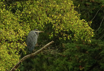 Photograph - Heron At Rest by Marilyn Wilson