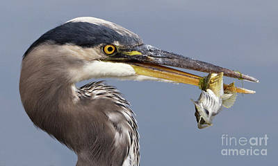 Photograph - Herons Appetizer by Sue Harper