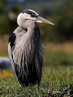 Photograph - Herons Best Side by Sue Harper