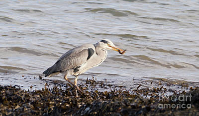 Photograph - Heron's Dinner by Terri Waters