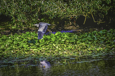 Photograph - Heron's Escape #h8 by Leif Sohlman