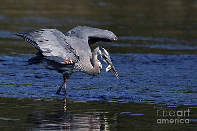 Photograph - Herons Fish by Sue Harper