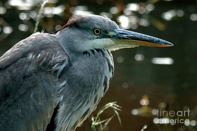 Photograph - Herons Looking At You Kid by Baggieoldboy