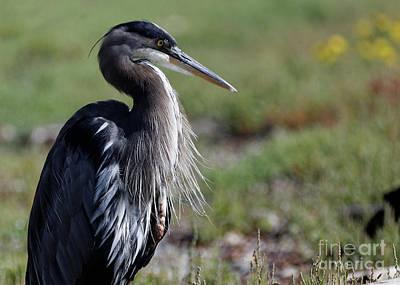 Photograph - Herons Portrait by Sue Harper