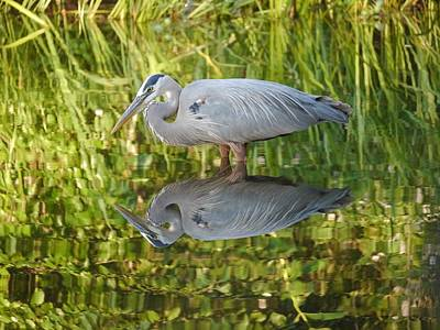 Photograph - Heron's Reflection by Jane Ford
