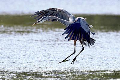 Photograph - Herons Spot Landing by Sue Harper