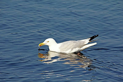 Photograph - Herring Gull by Debbie Oppermann