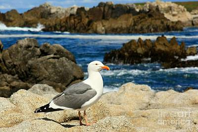 Photograph - Herring Gull by Frank Townsley